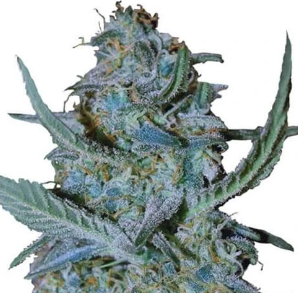 Blue-Cheese-Strain