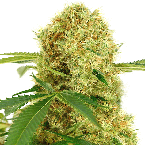 Things To Know Before Buying White Widow Cannabis Seeds