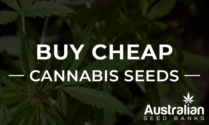 Buy Cheap Cannabis Seeds